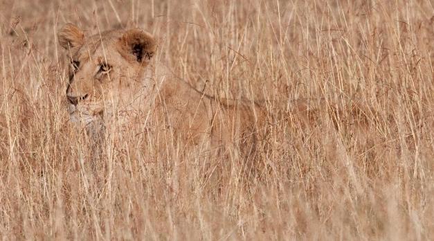 The Von Restorff effect, lion senergeti